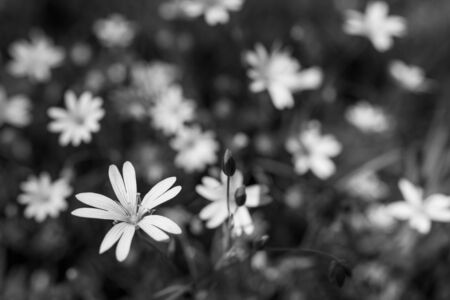 Black and white common starwort in flowering spring meadow. Stellaria graminea. Beautiful floral background with delicate blooms of wild herb. Artistic consoling natural scene. Selective focus, bokeh.