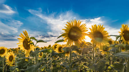 Summer sunset over common sunflower blooms under blue sky. Helianthus annuus. Artistic close-up of sunlit field with flowering tall medicinal herbs in evening backlight and shining sun betwen flowers.