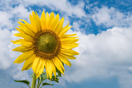 One common sunflower bloom on blue sky and white clouds background. Helianthus annuus. Beautiful yellow flower head. Tall herb with medicinal petals and spiral of green seeds. Garden ornamental plant.