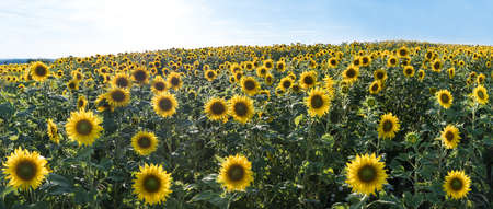 Blooming common sunflower field in panoramic landscape. Helianthus annuus. Realistic summer scenery and blue sky. Beautiful yellow flowers of herb cultivated for seeds. Vegetable oil. Healthy cooking.