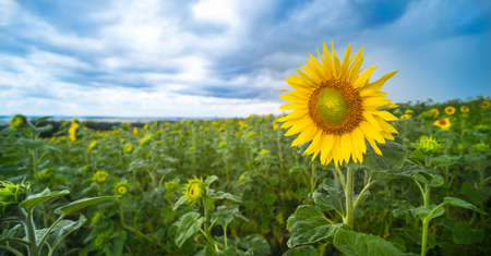 Panoramic landscape with common sunflower bloom in growing field. Helianthus annuus. Yellow flower head in lush greenery with opening buds and blue summer sky. Agronomy. Green ideology or vegan food. Reklamní fotografie