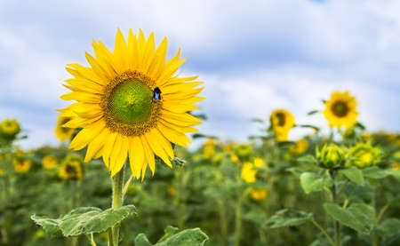 Yellow flower head of common sunflower and bumble-bee pollinator. Helianthus annuus. Bombus. Blooming tall medicinal herb in lush green field and summer cloudy sky. Farming, agronomy. Selective focus. Reklamní fotografie