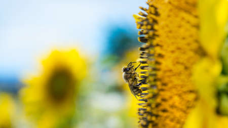 European honey bee on common sunflower bloom. Apis mellifera. Helianthus annuus. Closeup of worker honeybee in yellow flower detail on blue sky background in artistic scene. Eco. Small depth of field. Stock Photo