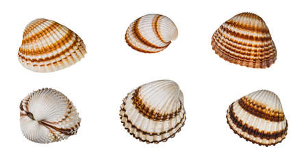 Set of brown striped common cockles isolated on a white background. Cerastoderma edule. Empty scalloped oval sea shells of marine bivalve mollusk. Halves or two joined valves of edible saltwater clam.