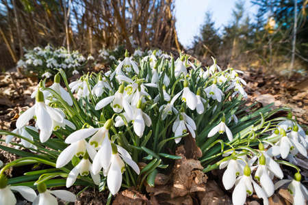 Closeup of white snowdrop blooms in forest dry fallen leaves and blue sky. Galanthus nivalis. Beautiful bunches of bell shaped flowers with green markings on petals. Sunlit wild flowering spring herb.