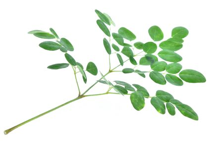 moringa leaves  isolated on a white background