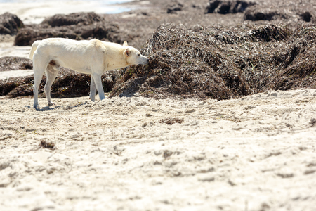 A stray dog sniffing seaweed on the seashore