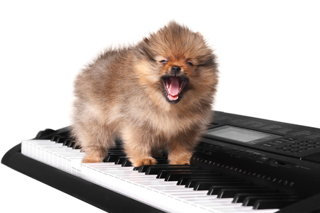 Cute funny fluffy Pomeranian puppy on white isolated background sitting on the keyboard of a musical instrument