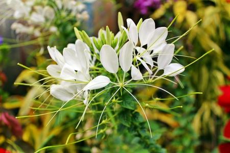 Single white spider flower stock photo picture and royalty free single white spider flower stock photo 44015645 mightylinksfo