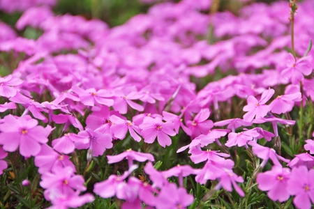 zoomed: Zoomed to shibazakura or pink moss flower in a big field Stock Photo