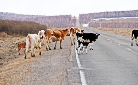 Cows crossing russian road in late winter for grasses field