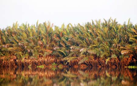 Abundant Mangrove palm or Nipa palm touching by runset along the clean river in Thailand