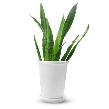Sansevieria plant in white plastic pot isolated on white background Reklamní fotografie