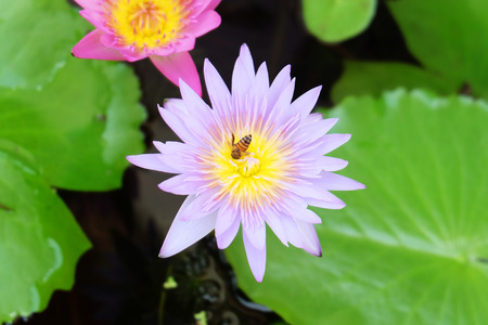 hardy: Hardy water-lily lotus Stock Photo
