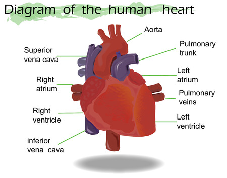 Human Heart Anatomy Stock Photos. Royalty Free Human Heart Anatomy ...