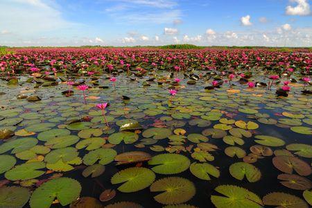 Lake full of water lilies