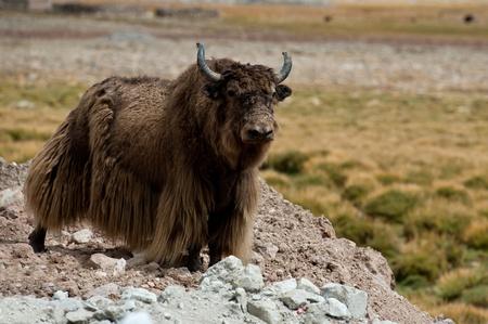 Tibetan brown yak Stock Photo - 11235014