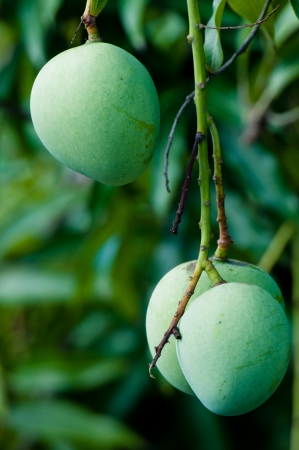 Green apple shaped mango hanging on the tree Stock Photo - 14152781