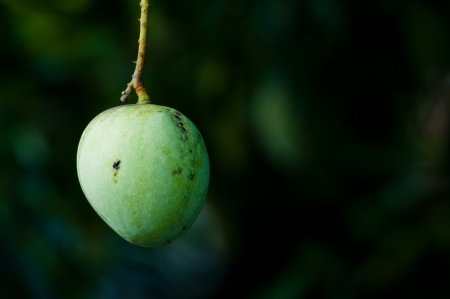 Green apple shaped mango hanging on the tree with dark background Stock Photo - 14152778
