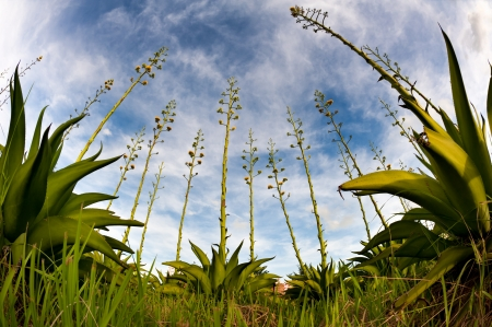 century plant: Agave plant shot with fish eye lens