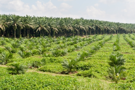 palm oil plantation: Oil palm plantation with mixed of young and old oil palm trees  Photo taken in Malaysia  Stock Photo
