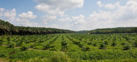 Oil palm plantation with mixed of young and old oil palm trees  Photo taken in Malaysia  Stock Photo
