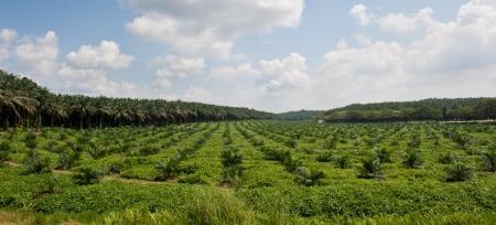palmeras: Plantaciones de palma aceitera con mezcla de palma de aceite y peque�os �rboles Foto tomada en Malasia Foto de archivo