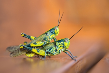 mating colors: 2 grasshoppers with same color mating on the garden chair Stock Photo
