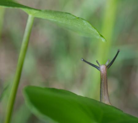 Snail crawling slowly on the money plant leaf