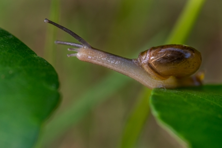 Snail moving from one leaf to another