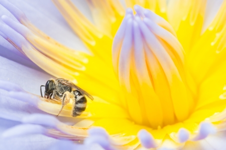 Bee working hard collecting pollen on a waterlily Stock Photo - 16903369