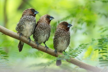 Three Scaly-breasted Munia resting in a row on a tree branch Stock Photo