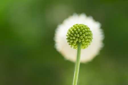 Green flower bud with flower in the background