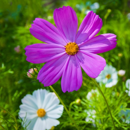 Purple daisy in the field on a sunny day