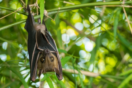 Bat hanging upside-down on a bamboo tree