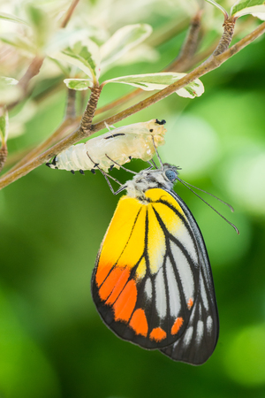 oruga: Hermosa mariposa emerge de un capullo Foto de archivo