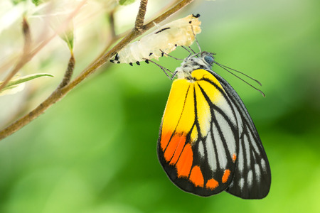 Piękny motyl wyłania się z kokonu