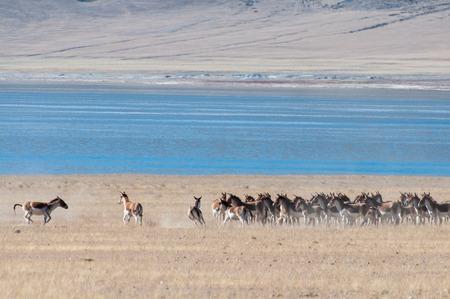 Wild Tibetan donkeys on the hill