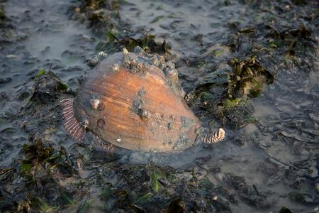 Baler Volute (Melo Melo) shell snail