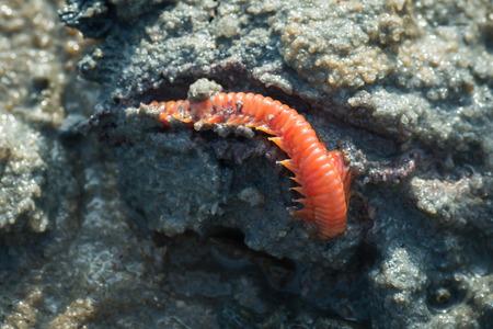 Red Sea centipede