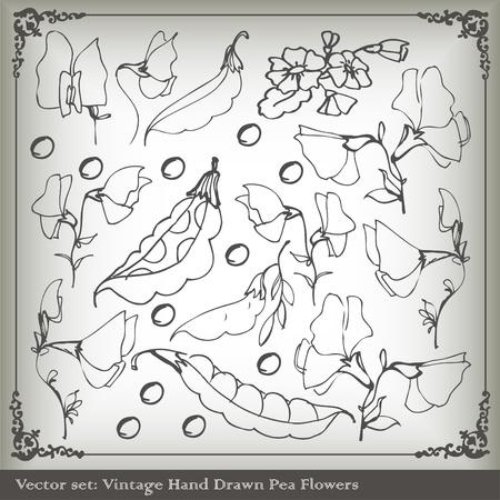 florid: Sweet peas vintage background vector Illustration
