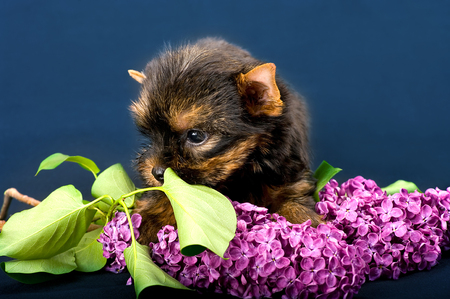 adoring: Funny little dog Yorkshire terrier puppy sitting on a dark background with flower. With selective focus.