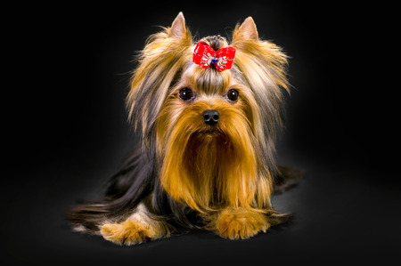 adoring: Glamorous fashionable little dog Yorkshire terrier sitting in the background. With selective focus.