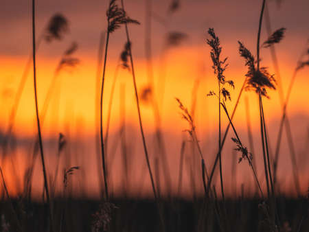 Silhouettes of reeds at beautiful sunset