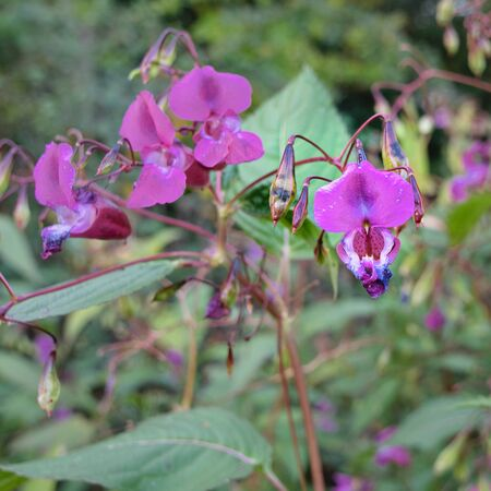 Glandular balsam, purple flowers on the edge of the forest, Impatiens glandulifera Stockfoto
