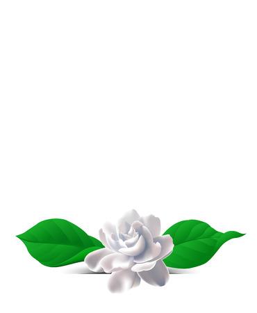 Jasmine flower. Zhasminova flower on a white background. Background with flowers. Flowers on the salutatory postcard. Vettoriali