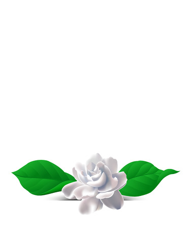 Jasmine flower. Zhasminova flower on a white background. Background with flowers. Flowers on the salutatory postcard. Ilustração