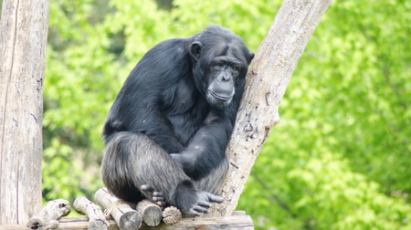 thoughtful chimpanzee on wooden platform in a zoo