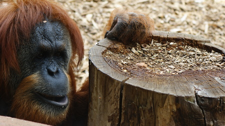 Orangut leaning on a log in a zoo