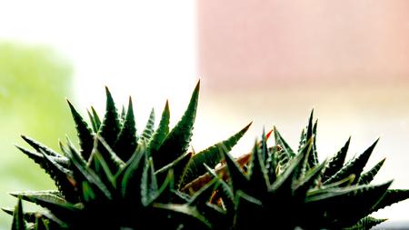 San Pedro, Kakteen, W ste, Mexico gr n Pflanze